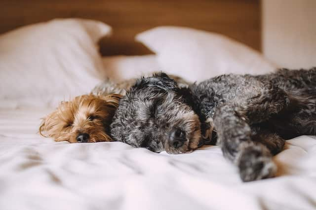 perdida de energia hipotiroidismo en los perros