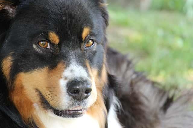 castrar a un perro causa sobrepeso