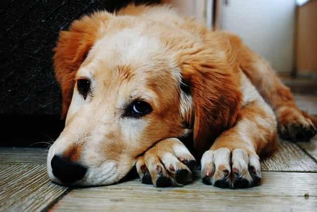 pros y contras de castrar a un perro