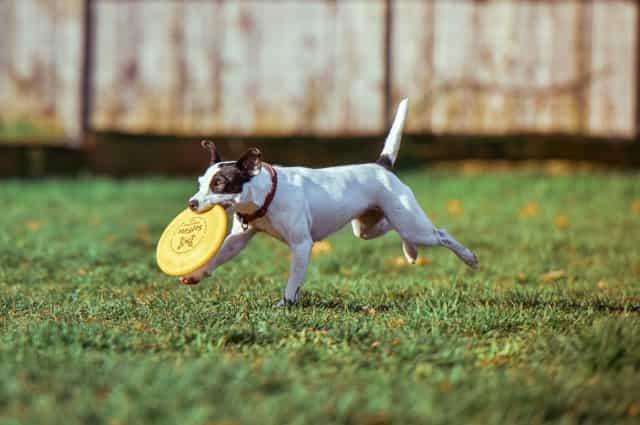 perro jugando collar original nuevo