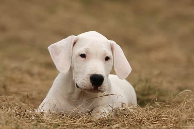 dogo argentino tramites leyes perros peligrosos