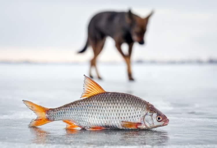 mejores piensos de salmón para perros