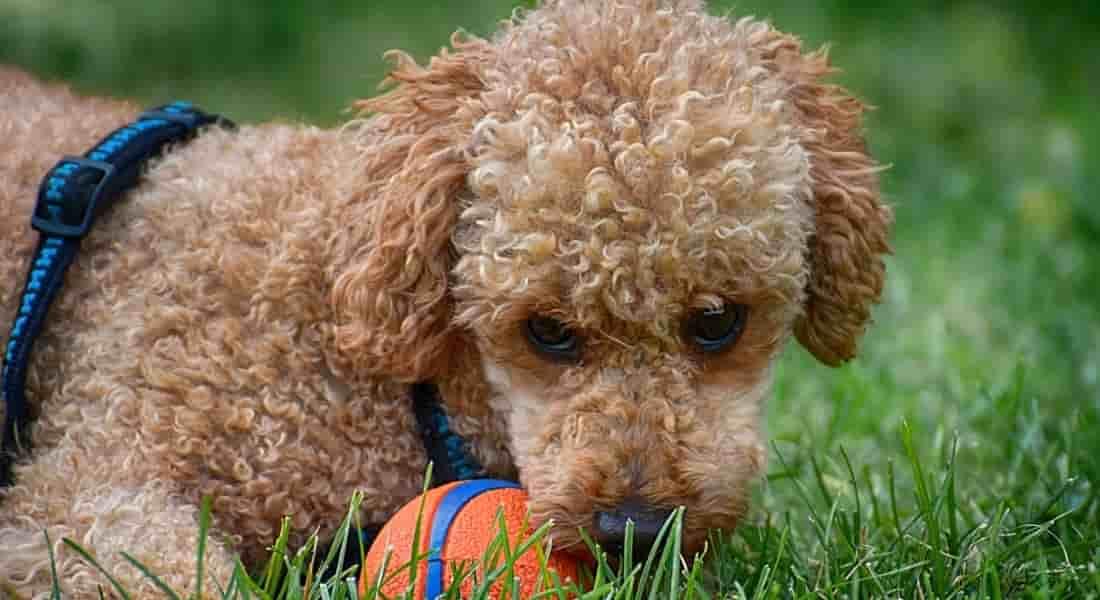 jugar con juego inteligencia para perro