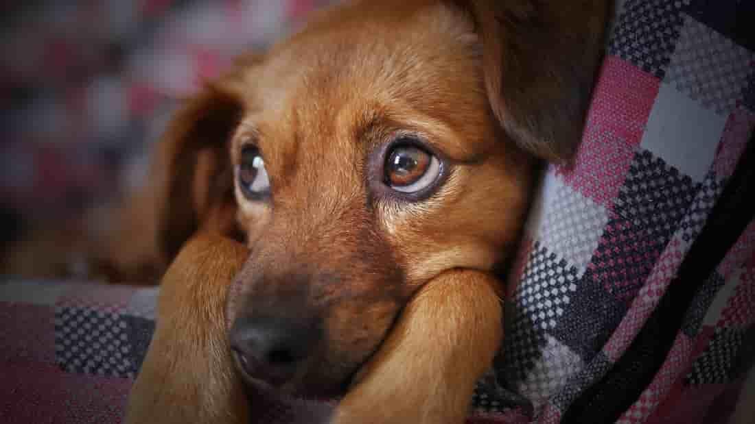 perro estresado