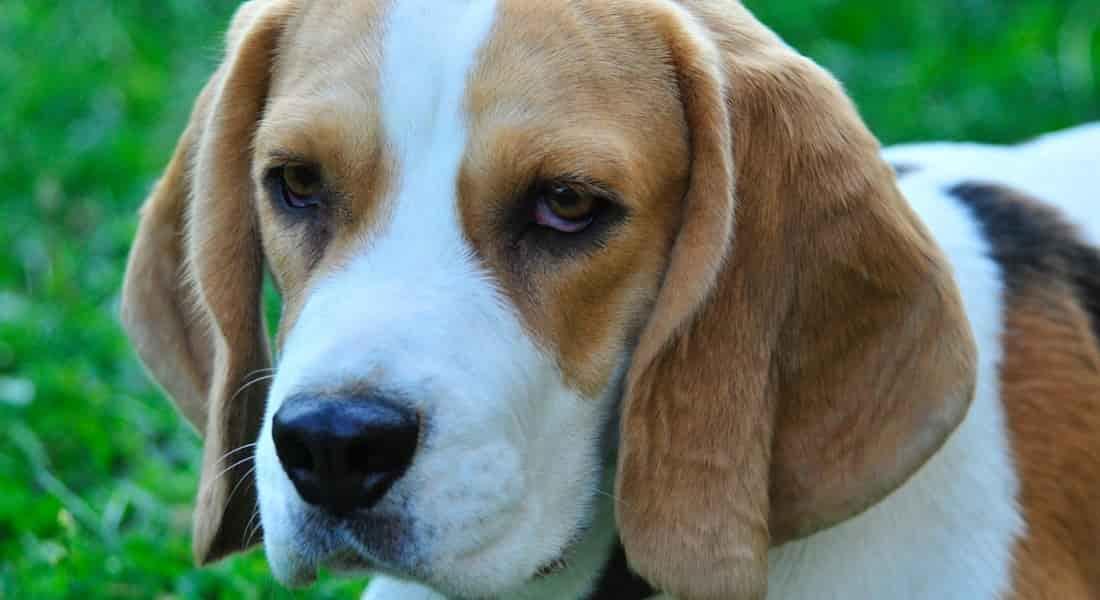 limpiador de oídos con otitis para perros con otitis