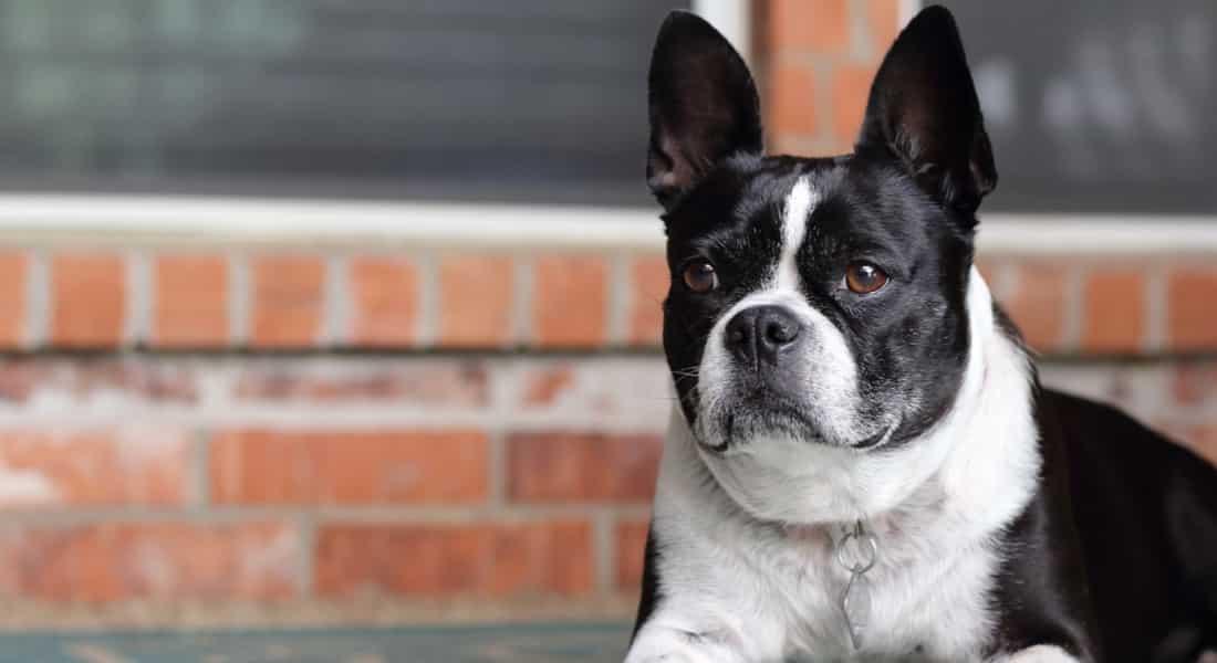 limpiador de oídos para perros con otitis