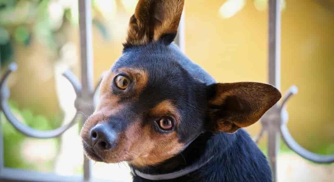 limpiador de oídos para perros