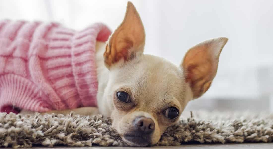 limpiador de orejas para perros