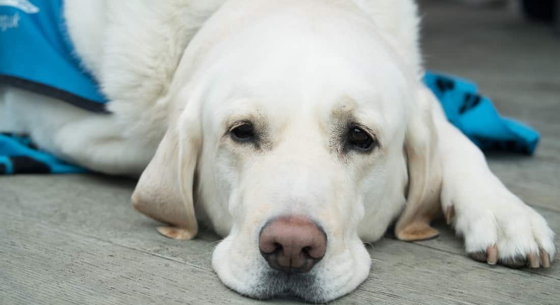 que le puedo dar a mi perro para el dolor
