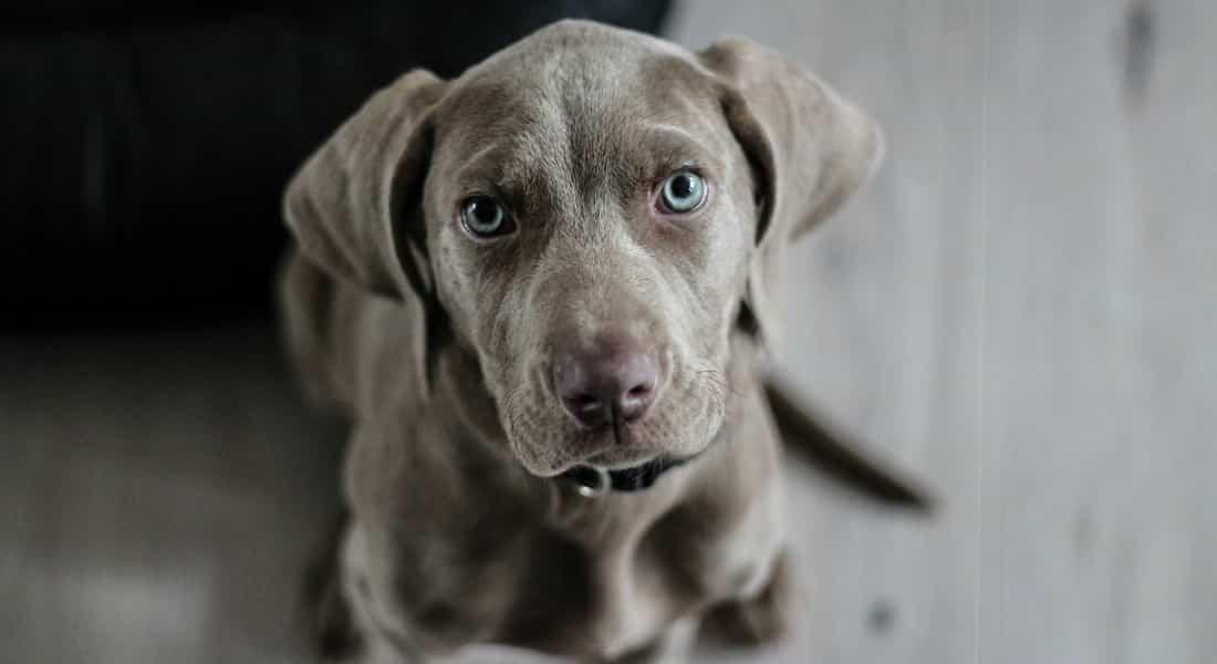 bultos en perros mayores