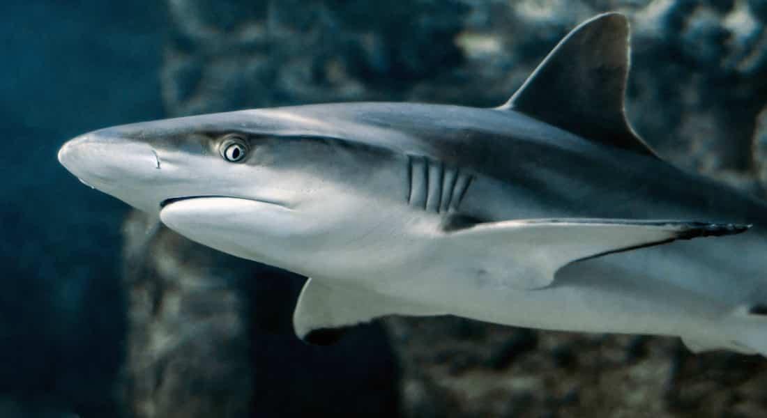 Alimentación con cartílago proveniente de tiburones