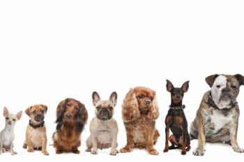 razas perros pequeños