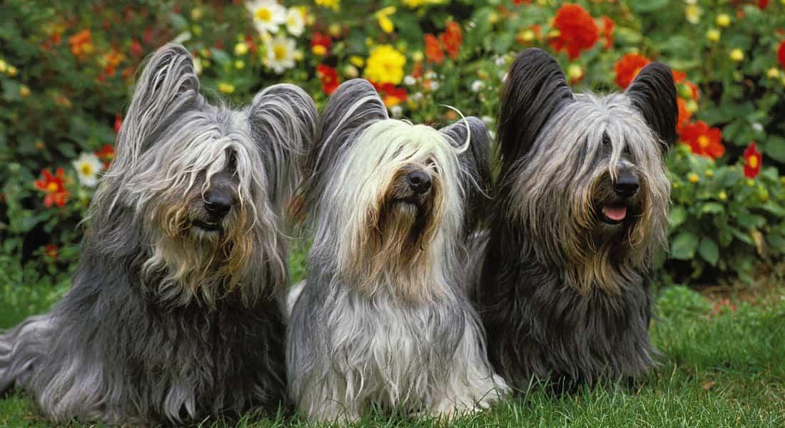 Perros Skye Terrier