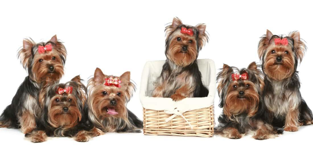 Perros Yorkshire terrier