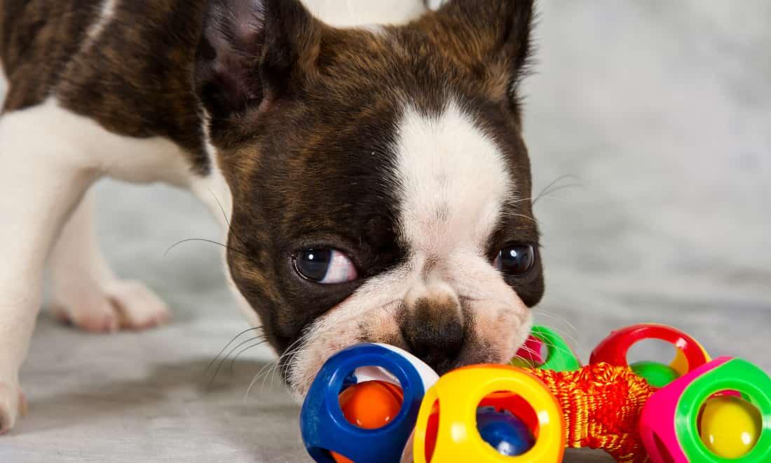 Raza Boston Terrier