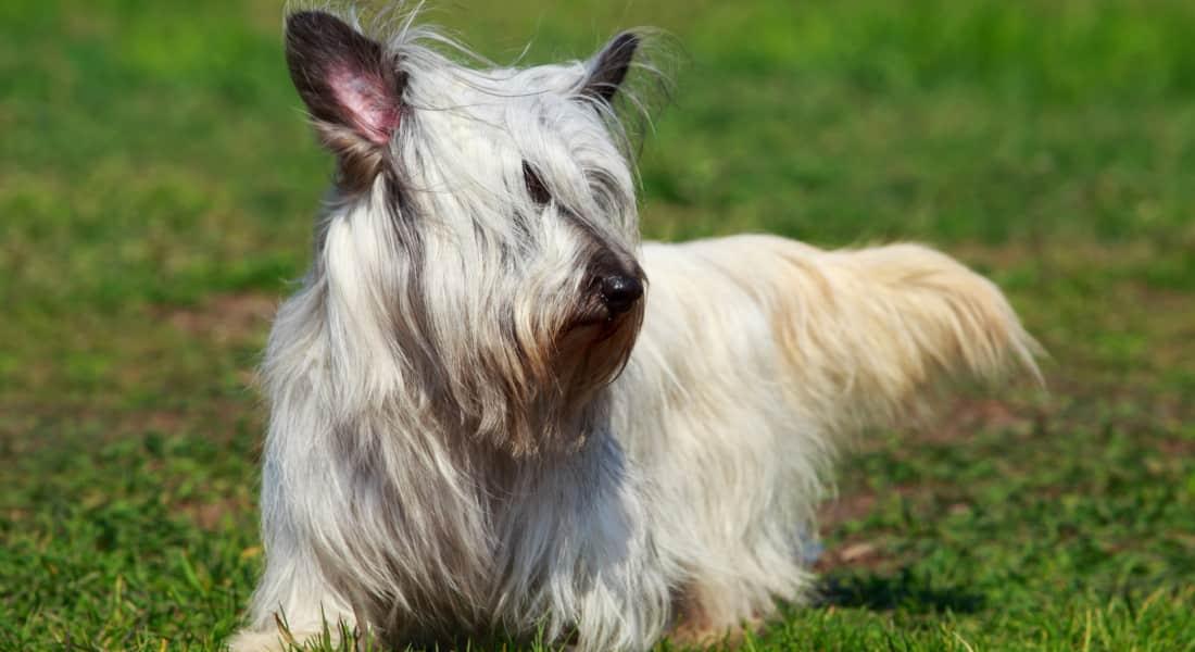 Raza Skye Terrier