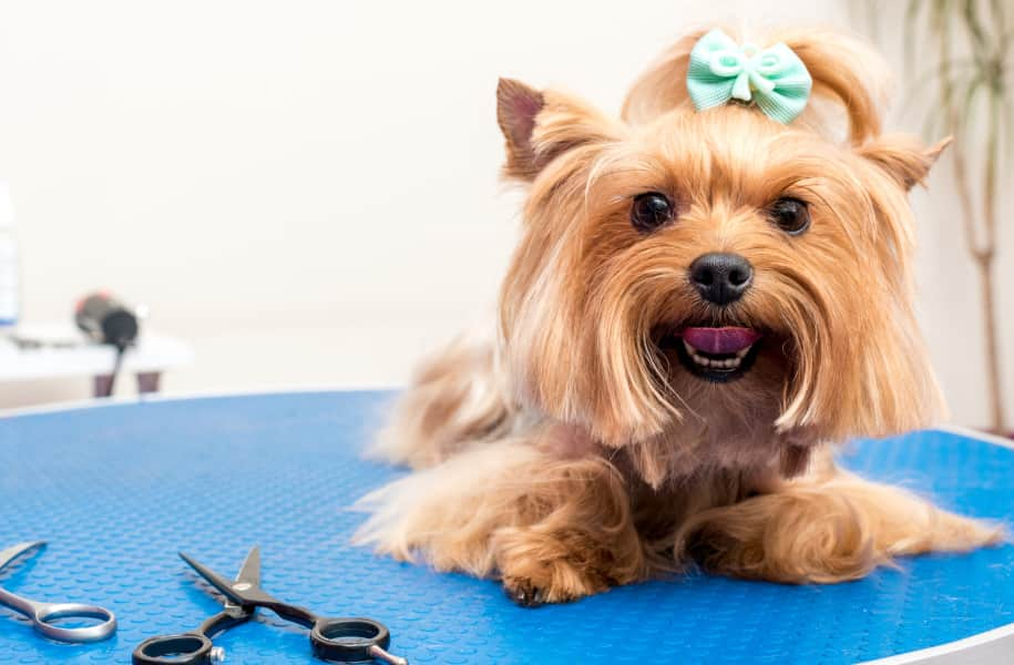 raza Yorkshire terrier