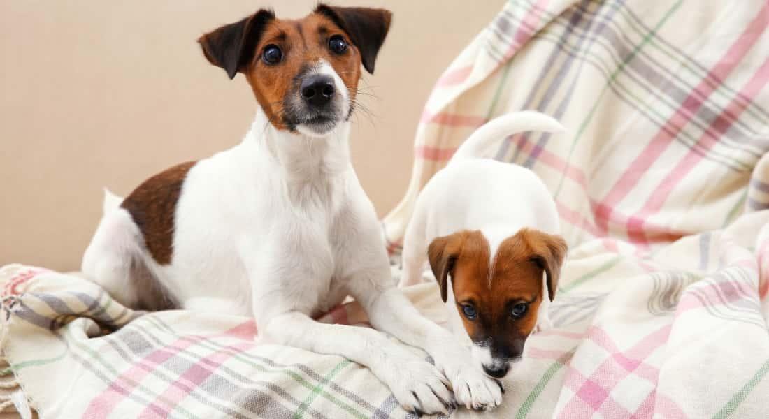 Perros Jack Russell Terrier