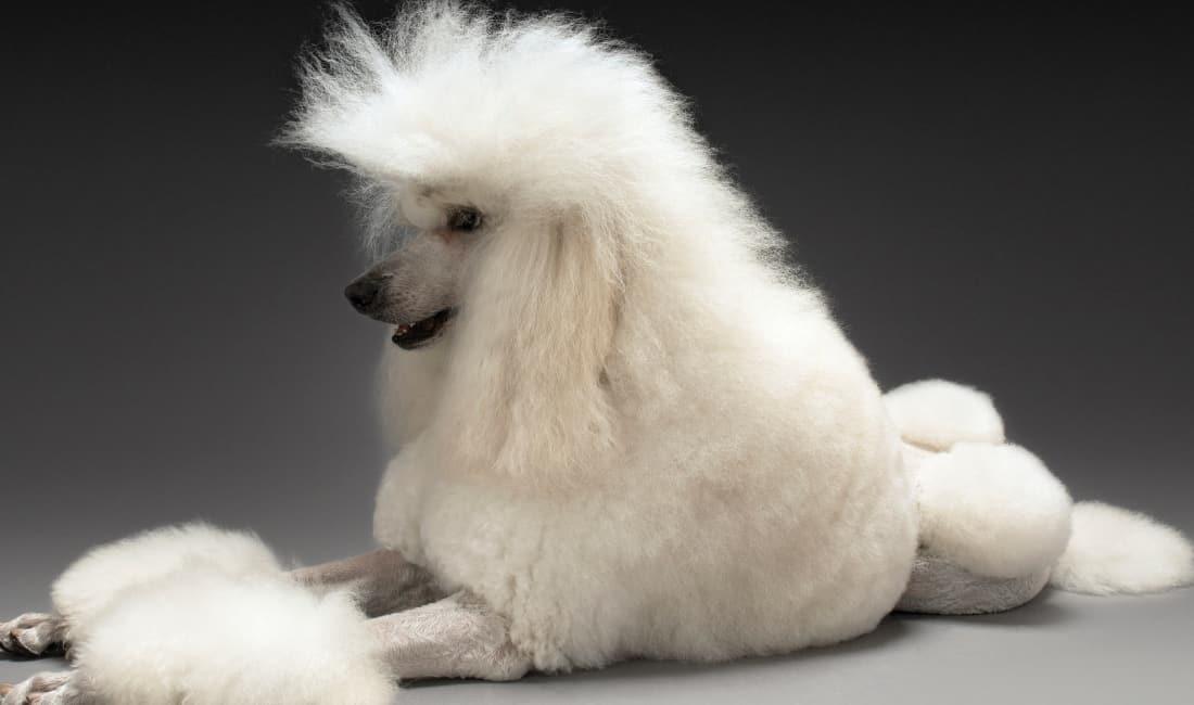 raza Caniche o Poodle