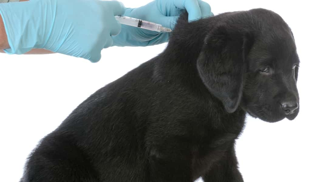 Vacuna cachorros